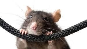 شركة مكافحة فئران بالخرج